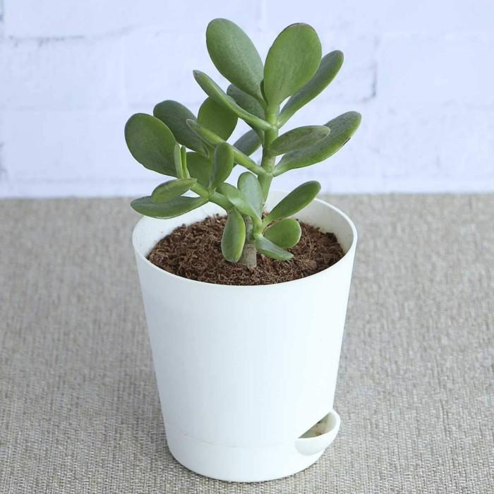 Grüne Glücksbringer Geldbaum im weißen Topf perfekt für jedes Zuhause auch Geschenk