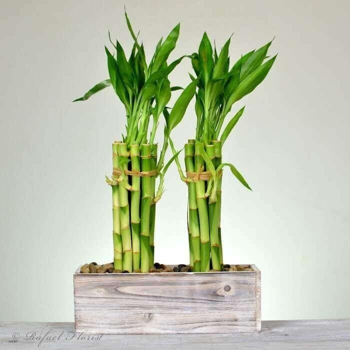 Grüne Glücksbringer Glücksbambus ewiges Symbol des Glücks Feng Shui