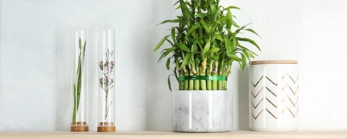 Grüne Glücksbringer Glücksbambus schöne beliebte Zimmerpflanze