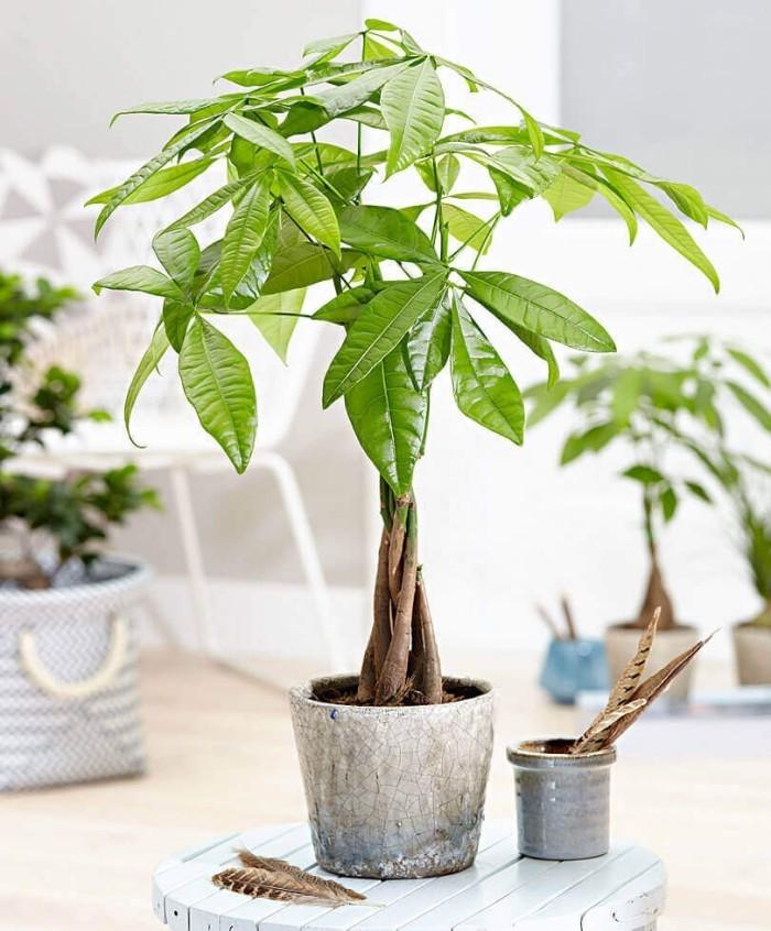 Grüne Glücksbringer Glückskastanie beliebte Zimmerpflanze pflegeleicht