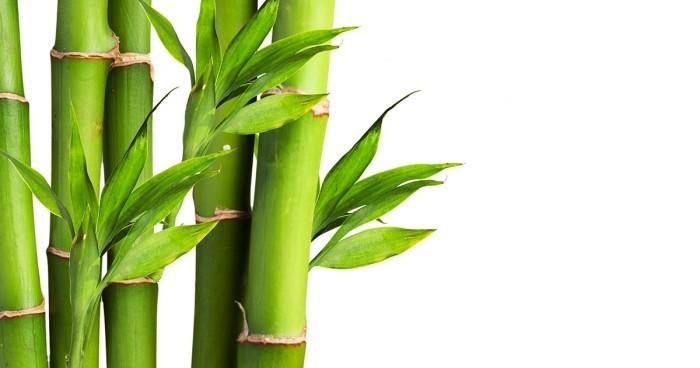 Grüne Glücksbringer Lucky Bamboo beliebte Zimmerpflanze