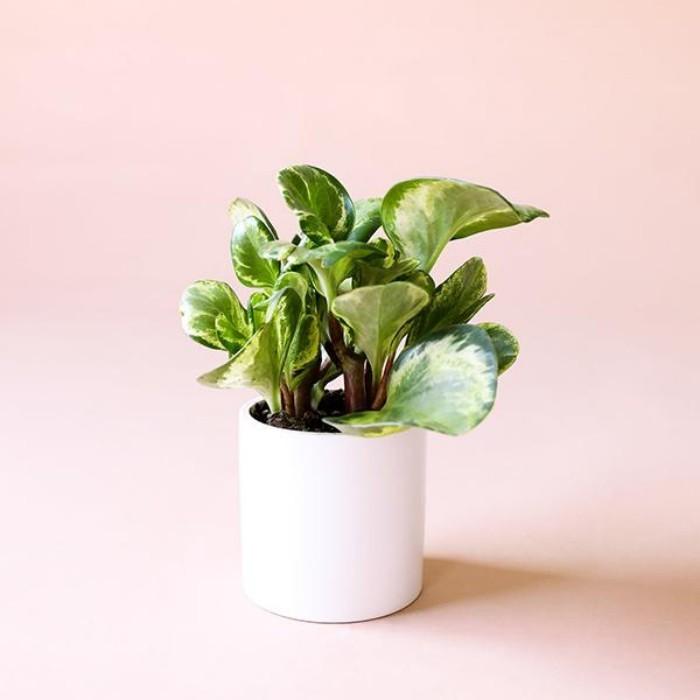 Grüne Glücksbringer kleiner Efeu im Topf schön geformte leicht glänzende Blätter