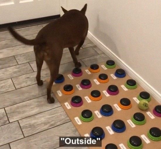 Sprechender Hund Stella lernt das Sprechen per Soundboard stella sagt ball outside