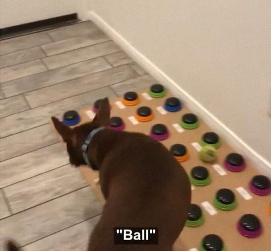 Sprechender Hund Stella lernt das Sprechen per Soundboard stella sagt ball