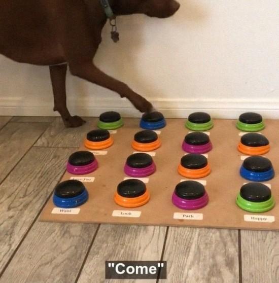 Sprechender Hund Stella lernt das Sprechen per Soundboard stella sagt come komm