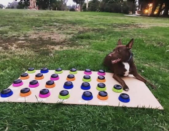 Sprechender Hund Stella lernt das Sprechen per Soundboard stella und soundboard im freien