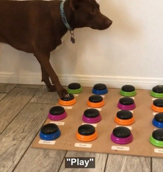 Sprechender Hund Stella lernt das Sprechen per Soundboard stella will spielen und sagt es