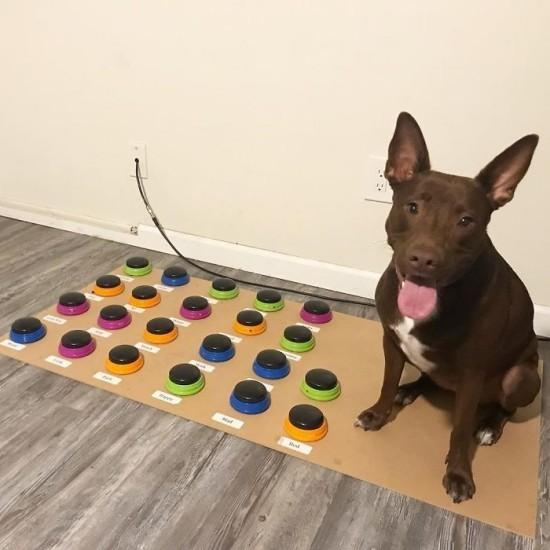 Sprechender Hund Stella lernt das Sprechen per speziellen Soundboard stella und ihr soundboard