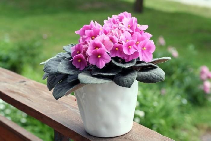 Zimmerpflanzen als Glücksbringer Afrikanisches Veilchen zarte rosa Blüten ziehen Blicke an