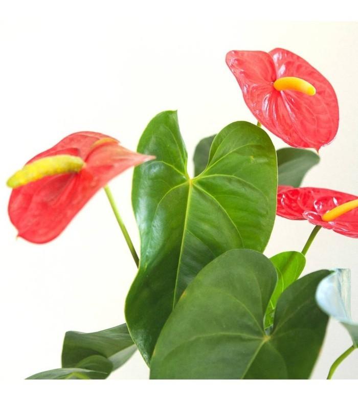 Zimmerpflanzen als Glücksbringer Anthurie beliebte glücksbringende Blume auffällige rote Blüten