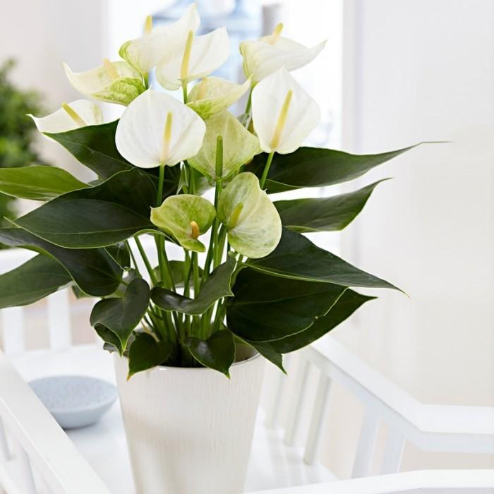 Zimmerpflanzen als Glücksbringer Anthurie rote Blüten glänzend grüne Blätter