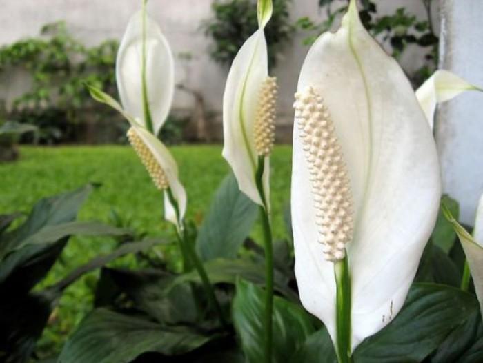 Zimmerpflanzen als Glücksbringer Einblatt draußen im Garten pflegen
