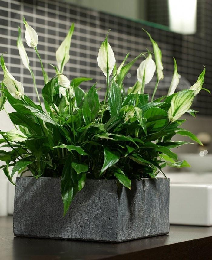 Zimmerpflanzen als Glücksbringer Einblatt elegante Ausstrahlung großer Pflanzkübel