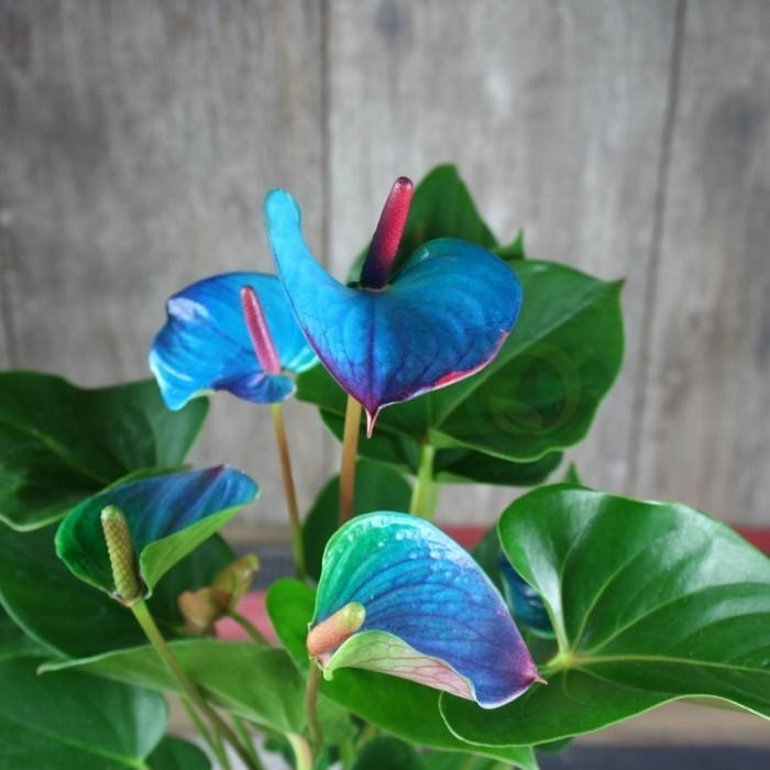 Zimmerpflanzen als Glücksbringer Flamingoblume mit blassblauen Blüten