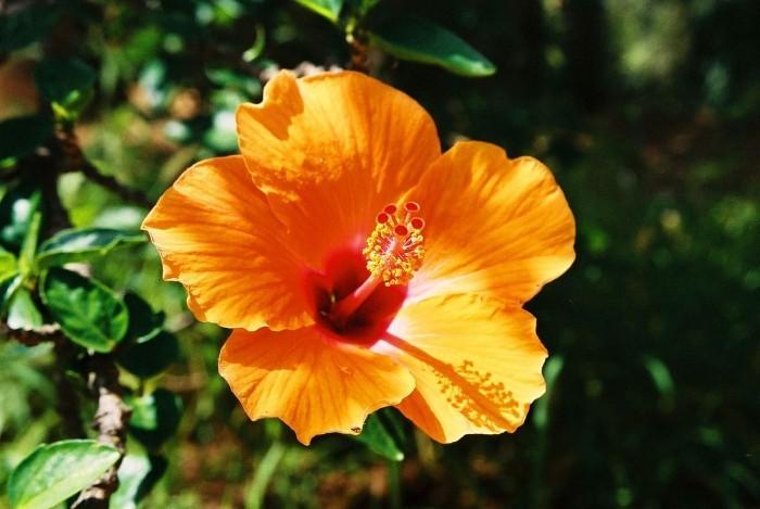 Zimmerpflanzen als Glücksbringer Hibiskus Blüte schön geformt in gesättigten Orange gefärbt