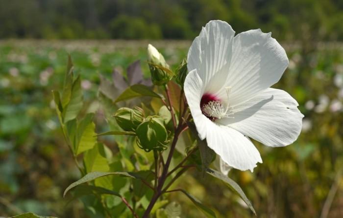 Zimmerpflanzen als Glücksbringer Hibiskus weiße Blüte gedeiht beim gemäßigten Klima auch draußen