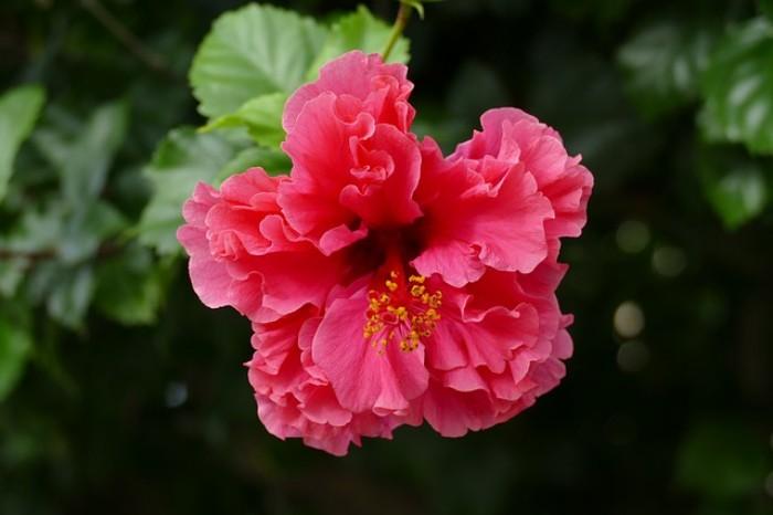 Zimmerpflanzen als Glücksbringer Hibiskus zarte rosa rote Blüte magische Kraft