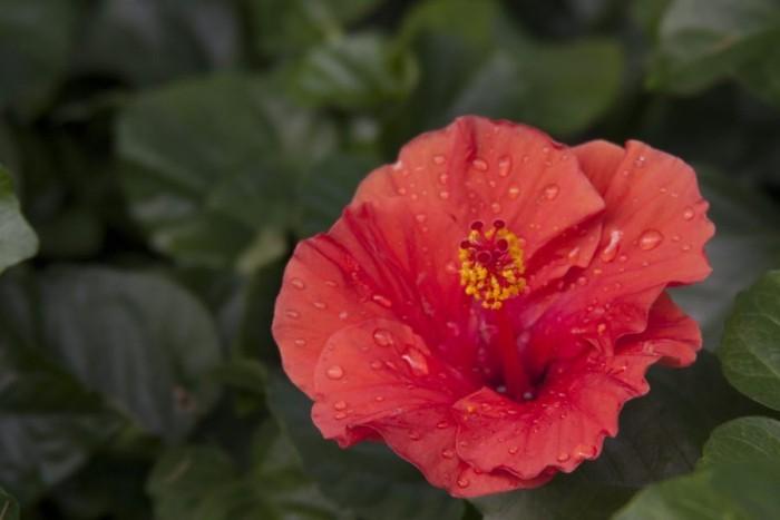Zimmerpflanzen als Glücksbringer Hibiskus zarte rote Blüte symbolisiert die leidenschaftliche Liebe