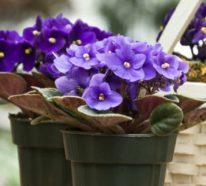 Welche Zimmerpflanzen als Glücksbringer bekannt sind?
