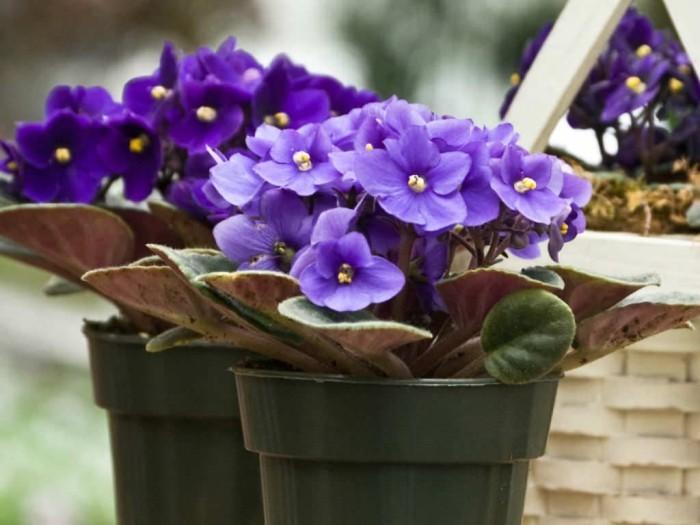 Zimmerpflanzen als Glücksbringer Usambaraveilchen kleine blaue Blüten ein richtiger Blickfang