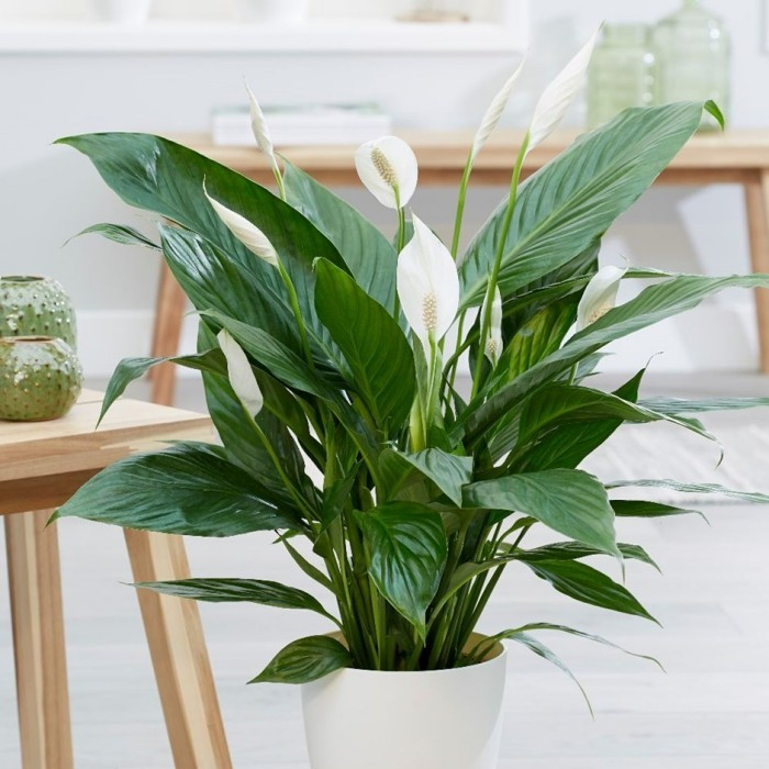 Zimmerpflanzen als Glücksbringer das Einblatt zu Hause pflegen Liebe finden weiße Blüten üppige grüne Blätter