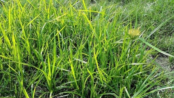 Erdmandeln Gras Pflanze