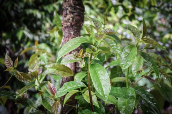 Guayusa Pflanze Tee zubereiten Tipps