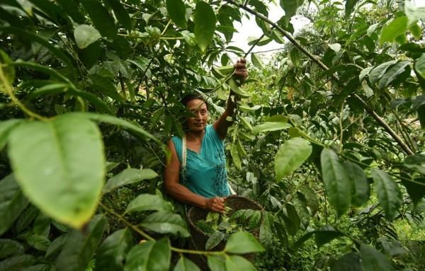 Guayusa Tee zubereiten Tipps Amazonia Regenwald
