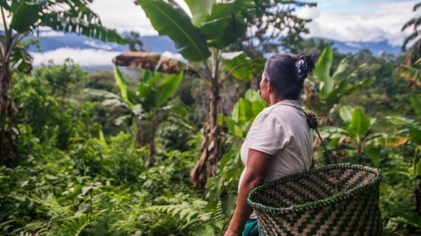 Guayusa Tee zubereiten Tipps Ekuador