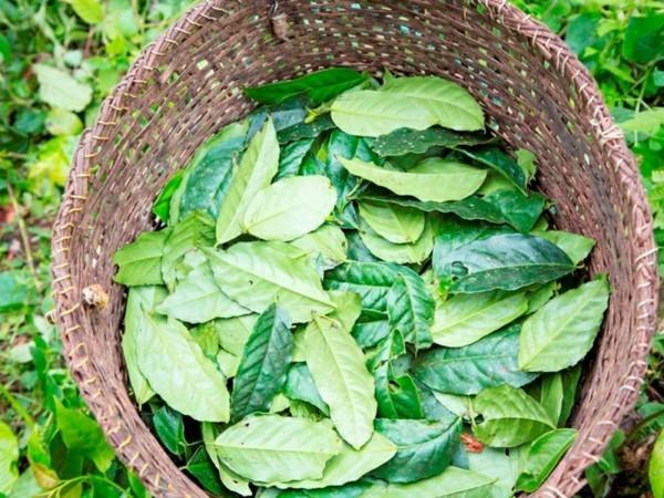 Guayusa Tee zubereiten Tipps Korb Blätter