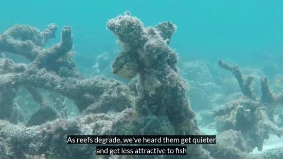 Unterwasserlautsprecher könnten zur Wiederherstellung beschädigter Korallenriffe beitragen tote riffe werden leiser und ziehen kein leben an