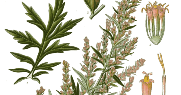 artemisia vulgaris beifuß