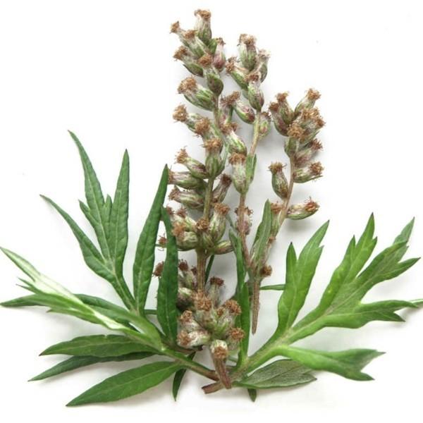 beifuß pflanze blüten gesunde wirkung