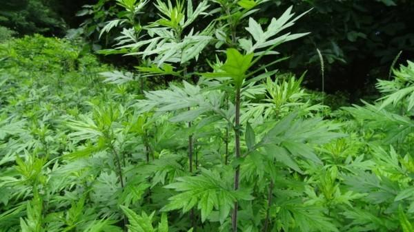 heilpflanze beifuß wirkungen
