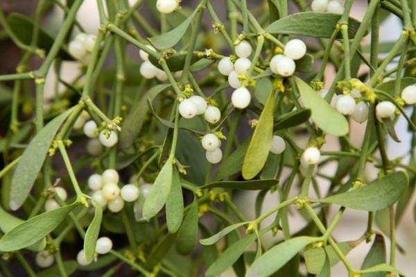 mistelzweig weiße früchte weihnachtsdeko