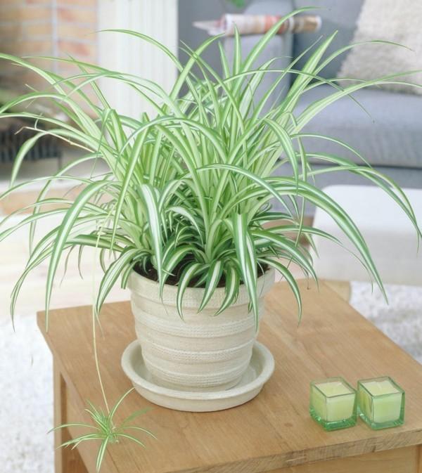 Chlorophytum comosum variegatum büropflanzen