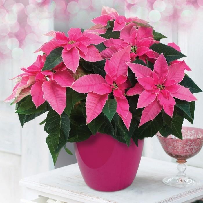 Christstern Hochblätter in Pink ein richtiger Blickfang