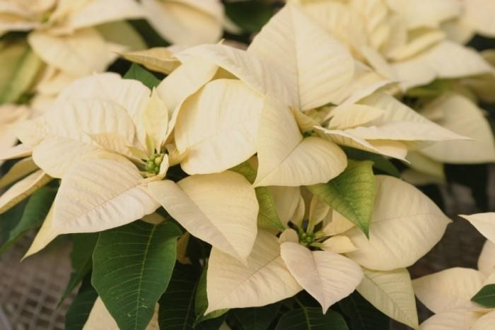 Christstern milchweiße Hochblätter viel natürliche Schönheit