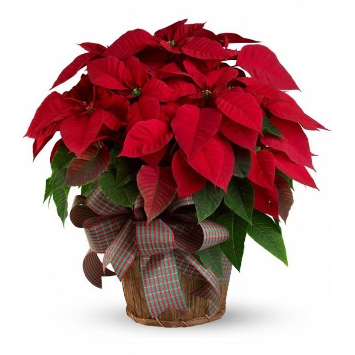 Christstern rote Hochblätter sehr eyecatching ein Symbol der Weihnachten