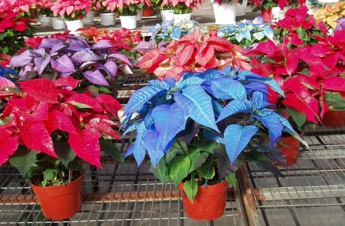 Christstern viele Pflanzen in verschiedenen Farben ein Farbenmeer im Blumengeschäft zu Weihnachten