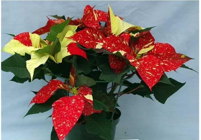 Christstern zweifarbig oder mit gesprenkelten Blättern im Blumenhandel zu finden