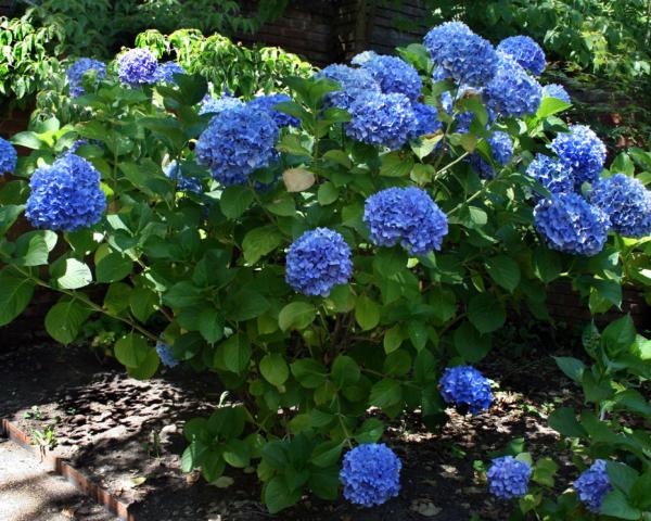 Den Garten gestalten Hortensien schneiden