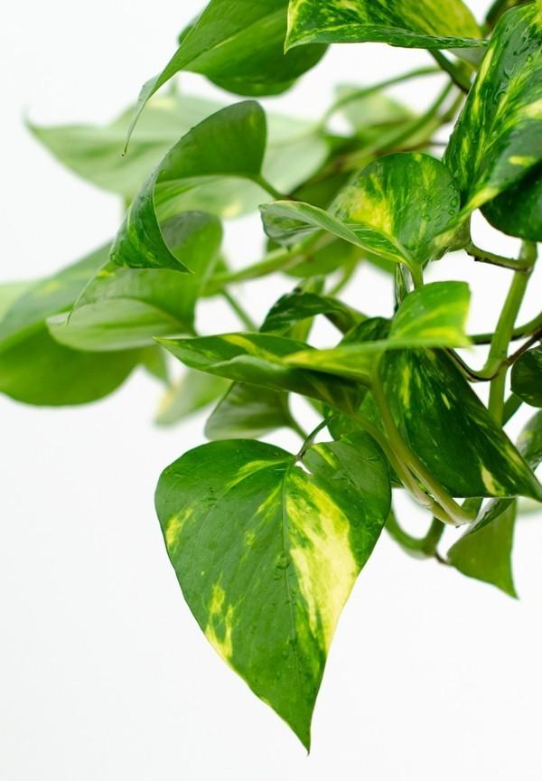 Epipremmum aureum tongapflanze efeutute büropflanzen tipps