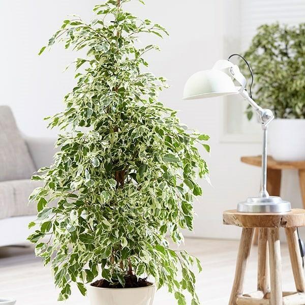 Ficus benjamina büropflanzen tipps