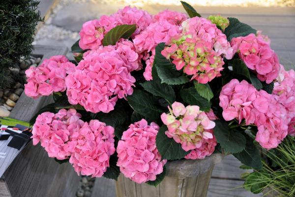 Garten Tipps wann Hortensien schneiden