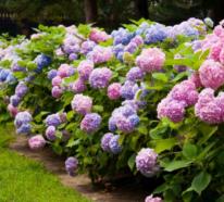 Hortensien schneiden – mit diesen Tipps machen Sie alles richtig!