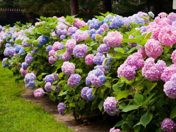 Gebüsche schöne Hortensien - tolle Hortensien schneiden wann