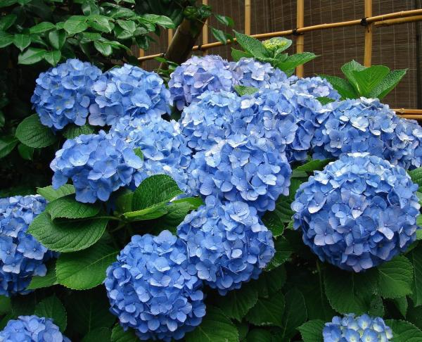 Hortensien Blüten schneiden Tipps