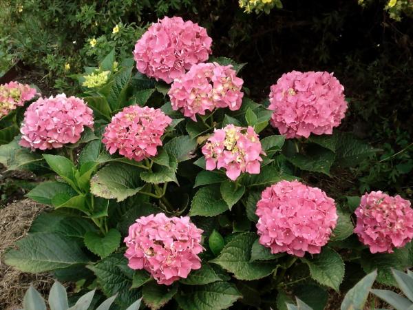 Hortensien schneiden - Blüten und Ideen - Gartengestaltung