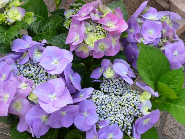 Hortensien schneiden - Gartengestaltung Tipps